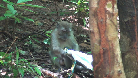 Monkey loves chips Stock Video Footage