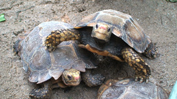 Turtles stock footage