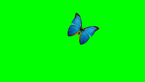 blue butterflies isolated on green background Stock Video Footage