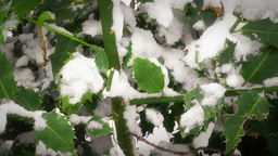 Winter Holly Stock Video Footage