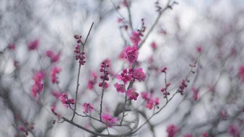 Flowers of Red Plum in Koganei park,Tokyo,Japan Stock Video Footage