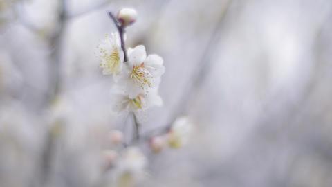 Flowers of White Plum in Koganei park,Tokyo,Japan Stock Video Footage
