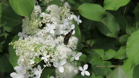 Admiral butterfly drinking nectar on white flowers Stock Video Footage