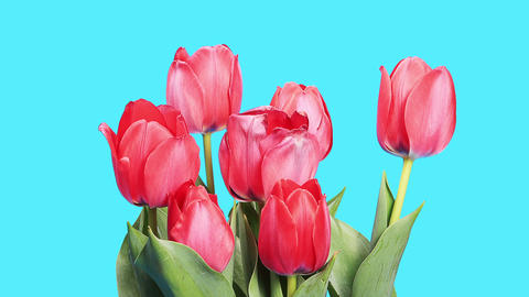 Blooming Red Tulips Flower Buds ALPHA Matte, Timelapse stock footage