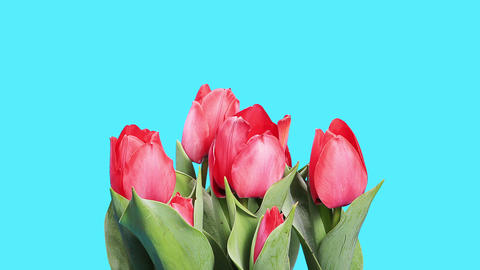Blooming red tulips flower buds ALPHA matte, timelapse Stock Video Footage