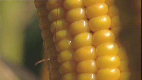 Ripe corn on the cob Stock Video Footage