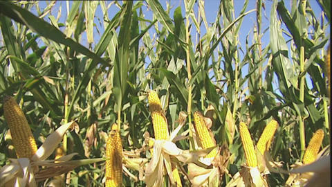 Crop of corn in sunshine - zoom out Footage
