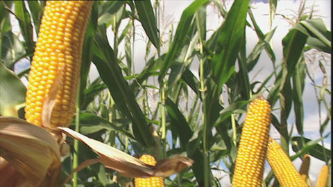 Maize plants with ripe corn cobs Footage