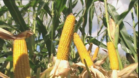 Maize plants with ripe corn cobs Stock Video Footage