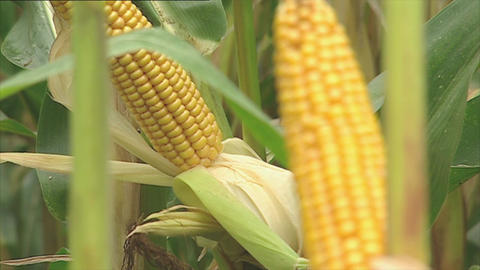 Fresh corn cobs on the plant Stock Video Footage