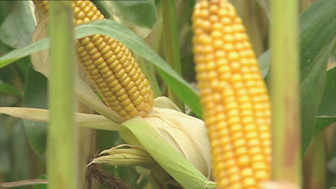 Fresh Corn Cobs On The Plant stock footage