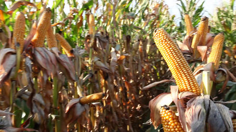 Dried corn on the cob Footage