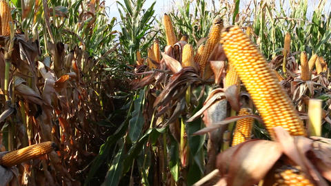 Dried corn on the cob Stock Video Footage