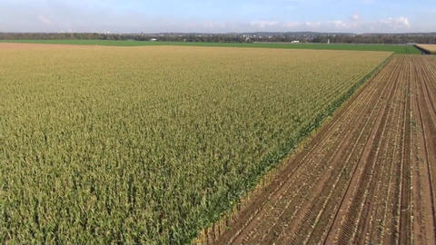 Aerial view of extensive maize crops Stock Video Footage