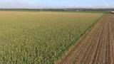 Aerial View Of Extensive Maize Crops stock footage