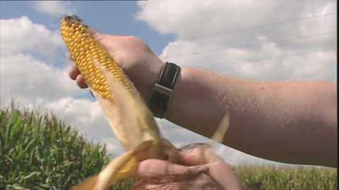 Man pulls leaves from a corn cob Stock Video Footage