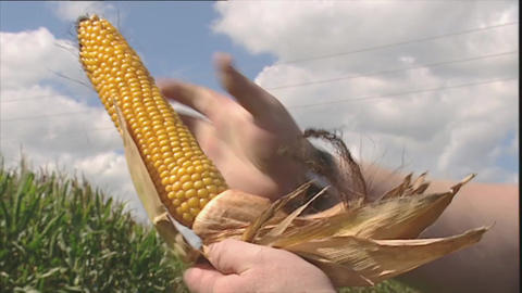 Man pulls leaves from a corn cob Footage