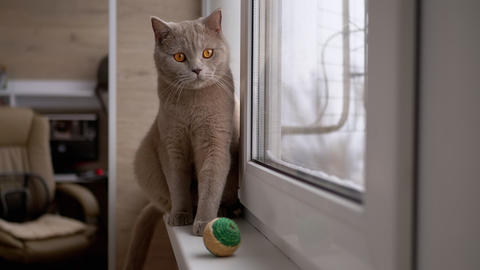 Beautiful Gray British Cat Plays with a Ball on Windowsill. Playful, Active Pet Live Action