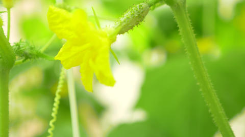 close-up of a cucumber vine. flowering cucumber, 4k, close-up, slow-motion Live Action