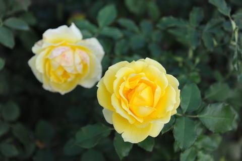 flower ;garden;Ashikaga;Tochigi;Japan フォト