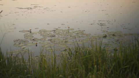 Water Lilies and Reeds Grow on the River. Reeds Growing Along the Shore Live Action