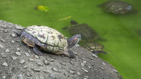Tortoise at the land look at the partner swim Live Action