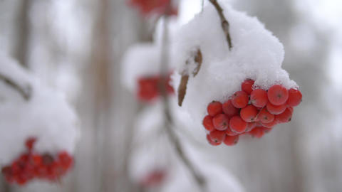 Bunch of red mountain ash under the snow Live Action