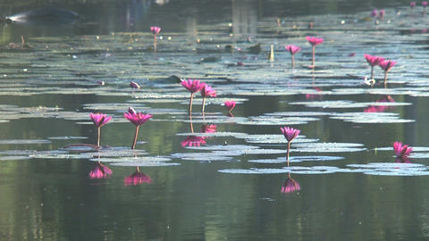 Ankor wat Lotus flowers Stock Video Footage