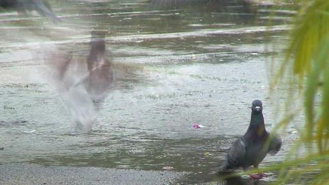 pigeon Stock Video Footage