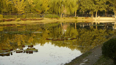 ginkgo forest reflection in water Stock Video Footage