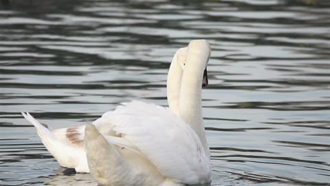 Male and female swan smooch on the river Footage