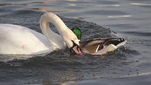 White Swan struggles with duck a piece of bread Stock Video Footage