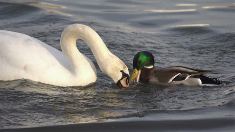 White Swan struggles with duck a piece of bread Footage