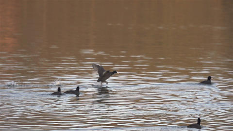 Duck goes over the water and lands on the river Stock Video Footage