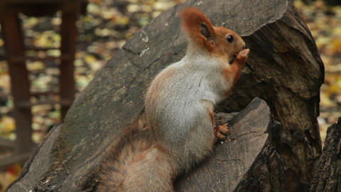 squirrel on stump Stock Video Footage