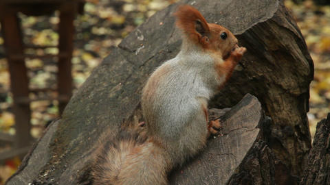 squirrel on stump Footage