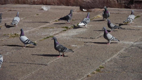pigeon eat food under forbidden city red wall Stock Video Footage