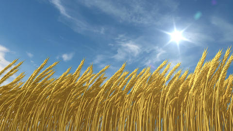 growing wheat Stock Video Footage