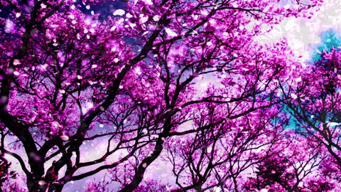 Cherry Blossoms 34745 Stock Video Footage
