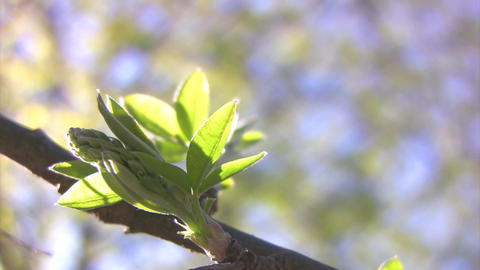 Young leaves Stock Video Footage