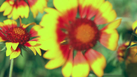 Gaillardia Stock Video Footage