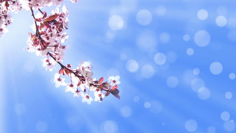 Background with a branch of cherry blossoms Footage