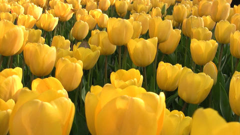 Yellow tulips Stock Video Footage