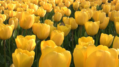 Yellow tulips Footage