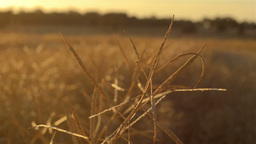 Canola Crop Swathed and Ready for Harvest Stock Video Footage