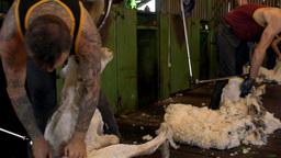 Shearers Shearing Merino Sheep Stock Video Footage