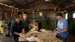 Rousabouts Skirting Freshly Shorn Wool in a Shearing Shed Footage