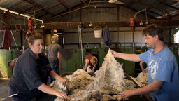Rousabouts Skirting Freshly Shorn Wool in a Shearing Shed Stock Video Footage