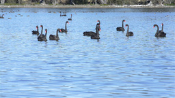 Flock Of Black Swans On A Lake stock footage