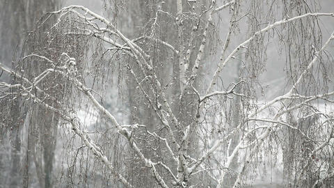 Closeup tree branch with snowflakes in winter Stock Video Footage
